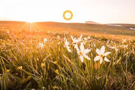 Couché de soleil et parterre de Narcisses des poètes sur le pl